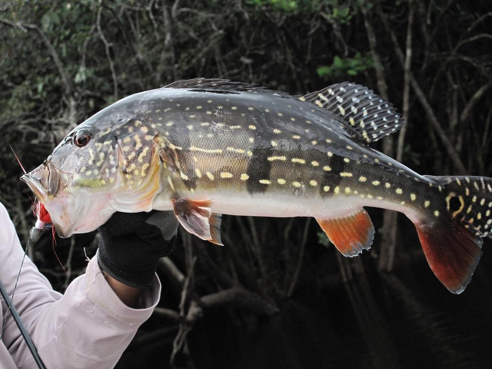 species-peacock-bass-cichla-temensis-paca